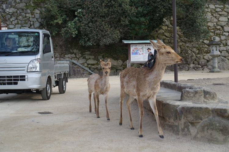 04 Miyajima deers