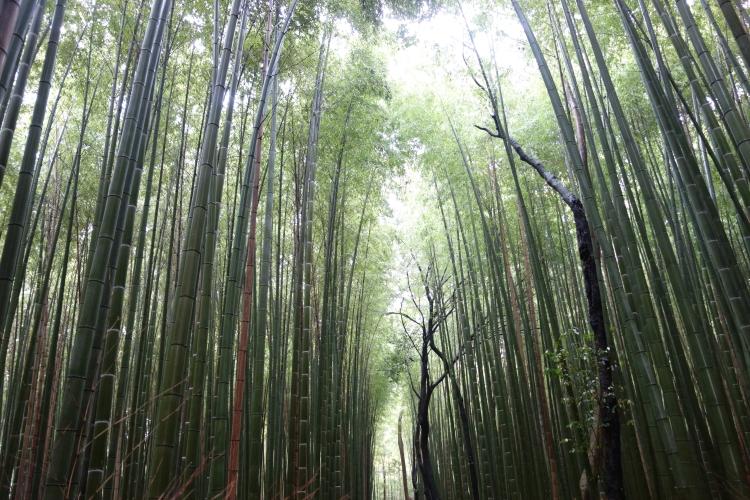 13 Arashiyama bamboo forest