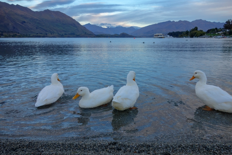 03 Lake Wanaka ducks